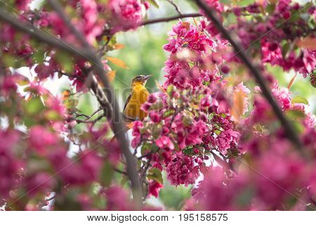 A orange Baltimore oriole hiding in the pink background of the crabapple tree blooms