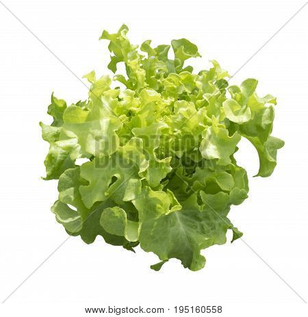 Green oak vegetable isolated on white background. This has clipping path.