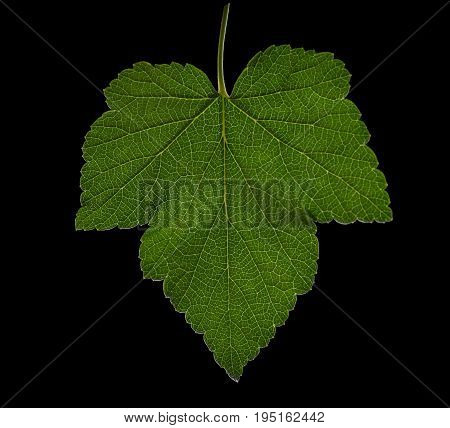 Close-up green, organic and fresh grape leaf on a black background. Dark green leaf on the shadowy background. Wonderful and green color summer leaves.