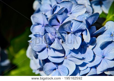 Close up of blue flowers with copy space.