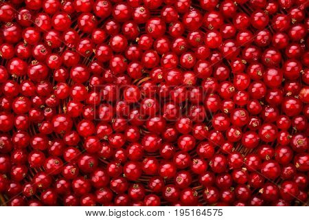 Fresh, tasty, healthy, raw, juicy, nutritious, ripe concept. The red currant different shades of bright red color. Currant different shades of bright red color.