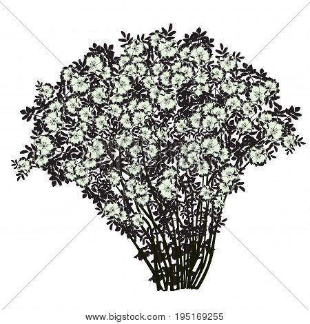 Big bush of a dogrose (Rosa majalis) the black drawing with flowers of light green color the vector image on a white background