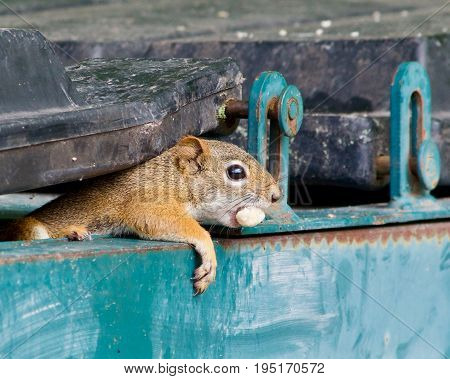 Squirrel peeking out for a garbage bin with a nut in his mouth