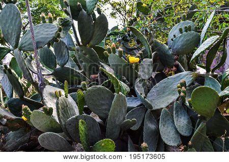 Plantation cacti. Natural green background Plantation cacti.