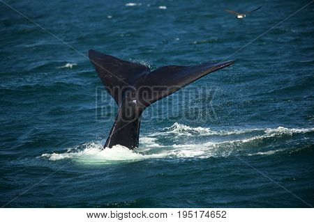 Tail over the water of a diving southern smooth whale South Africa