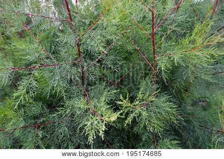 green thuja tree branches close up details as background image