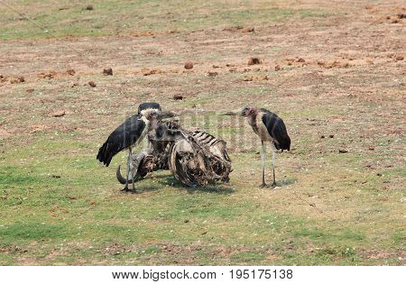 Marabou scavengers near the skeleton of a bull in the African savannah Botswana