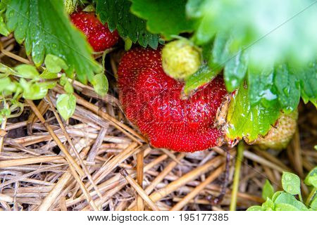 A large strawberry berry ripens in the garden