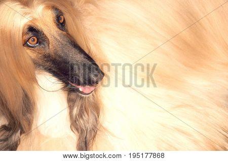 Closeup of Afghan hound looking away