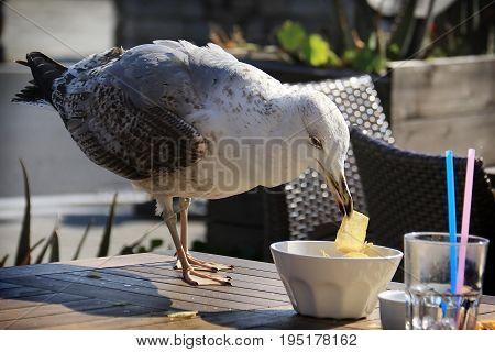 An albatross stealing and eating potato chips.