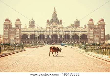 Lonely indian cow walking past famous building of the royal Palace of Mysore, in Indo-Saracenic style. Karnataka state, India