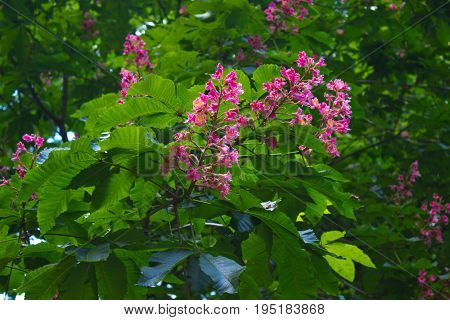 Horse chestnut flowers at spring time, tree blossom