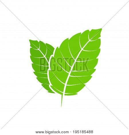 Fresh mint leaf. Vector menthol healthy aroma. Herbal nature plant. Spearmint green leafs flat.