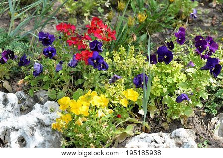 Colorful flowers pansy on a green grass background. Natural flowers pansy background