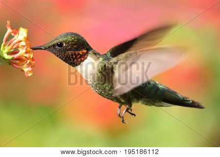 Male Ruby-throated Hummingbird (archilochus colubris) in flight with a colorful floral background