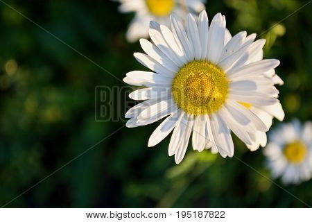 Beautiful white camomile with the light of sun