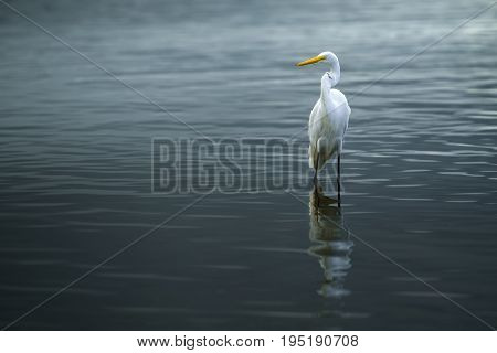 Great Egret (Ardea Alba) standing on the edge of the beach.
