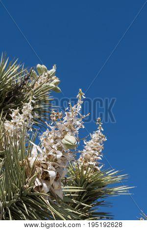 Blooms Of Joshua Tree On Blue Sky
