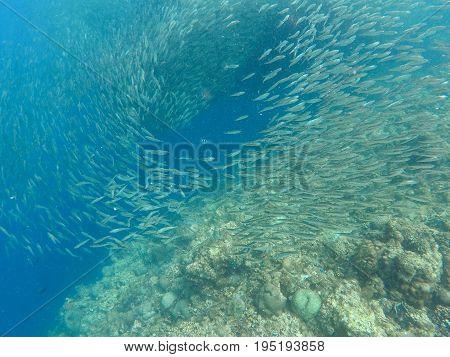 Sardines colony in blue ocean water. Massive fish school undersea photo. Silver fish swimming in seawater. Mackerel shoal for commercial fishing. Oceanic wildlife underwater. Sardines in saltwater