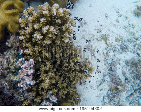 Coral reef and tropical fish. Damselfish colony underwater photo. Sea bottom with colorful coral ecosystem. Tropical seashore snorkeling. Tropic marine lagoon. Black and white damselfish family