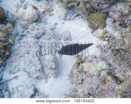 Coral reef and tropical fish. Orange-lined triggerfish underwater photo. White sand sea bottom with marine flora and fauna. Coral fish in wild nature. Aquarium fish in tropical seashore. Sea fish