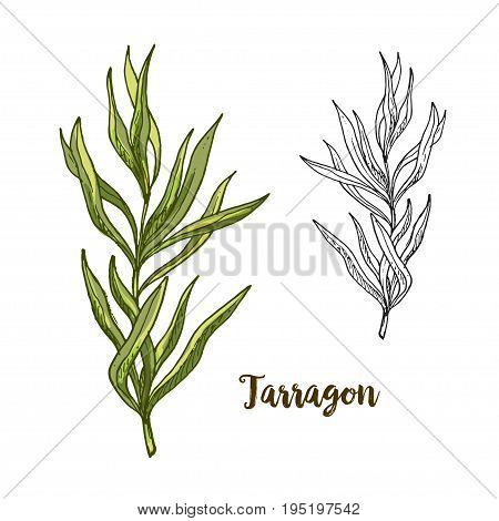 Full color realistic sketch illustration of tarragon, vector illustration