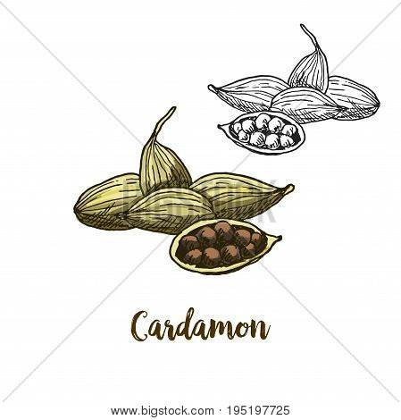 Full color realistic sketch illustration of cardamon, vector illustration