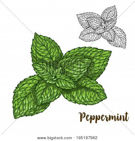 Full color realistic sketch illustration of peppermint, vector illustration
