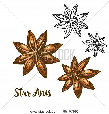 Full color realistic sketch illustration of star anis, vector illustration