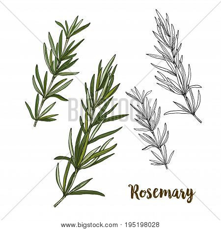 Full color realistic sketch illustration of rosemary, vector illustration