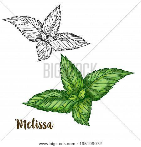 Full color realistic sketch illustration of melissa, vector illustration