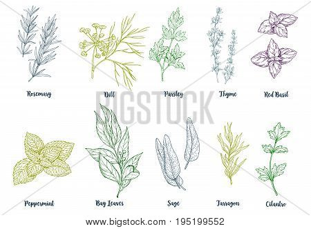Set of colored hand drawn culinary herbs and spices, vector illustration