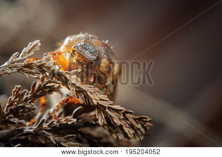 Common Cockchafer On Dried Plant. Invertebrate European Pest