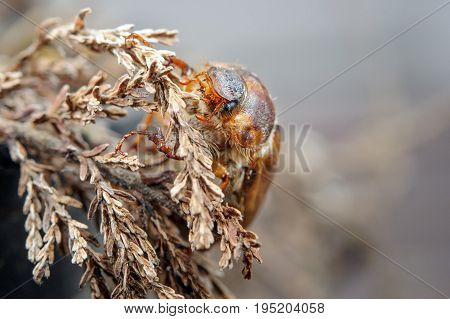 Cockchafer On Dried Plant. European Beetle. Invertebrate Pest