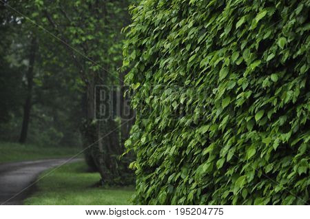 green beech hedge with a path in the background