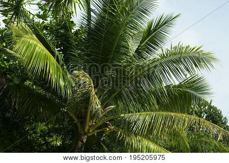 Green palm tree leaf with coconut. Summer travel seaside nature photo. Fluffy palm crown. Coco palm foliage. Colorful postcard from holiday destination. Tropical island idyllic view. Vacation banner