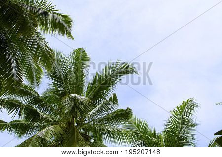 Coco palm leaf on sky background. Vacation day on tropical island. Summer holiday banner template. Fluffy palm tree crown with green leaves. Coconut palms under sunlight. Exotic nature relaxing view