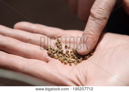 Beet Seeds On The Palm Of An Elderly Person