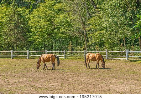 Beautiful horses on a summer playground in the background of a fragment of a stable in Mezhigiri near Kiev.