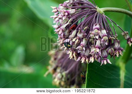 A blow fly alights upon the inflorescence of a common milkweed plant (Asclepias syriaca) during June in Plainfield, Illinois.