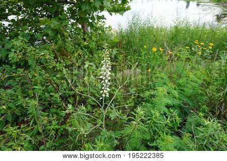 White Wild Indigo (Baptisia alba macrophylla) blooms near a retention pond in Plainfield, Illinois during June.