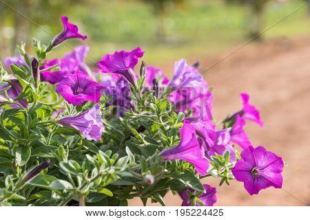 Petunia Hybrid