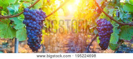 Vine grapes in champagne region at montagne de reims France