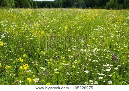 Profusely blooming forest glade bordered by a thick forest.