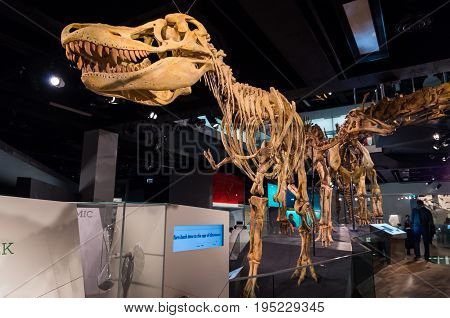 Melbourne, Australia - April 30, 2017: Tarbosaurus bataar skeleton at the Melbourne Museum, a historical and natural history museum in Carlton.