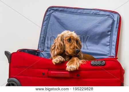 Cocker spaniel dog in suitcase - ready to travel