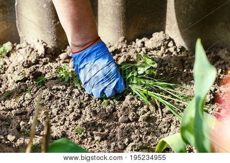 Spring weeding in the garden the gardener pulling out the weed carefully in blue garderning gloves