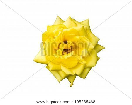 Yellow rose bud. Macro, close-up flower isolated on white background. Neatly carved rose bud, without a shadow.