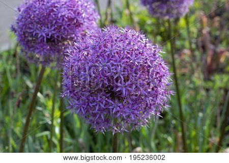Flower head of Allium Purple Sensation Allium aflatunense Gorkiy Park Moscow Russia