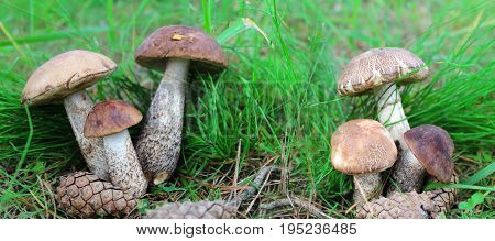 Mushrooms in green grass in a forest glade